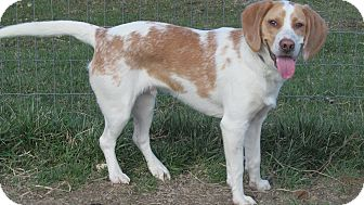Beagle Mix Dog for adoption in Staunton, Virginia - Milo