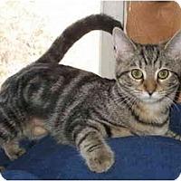 Adopt A Pet :: Georgie kitten - Cincinnati, OH