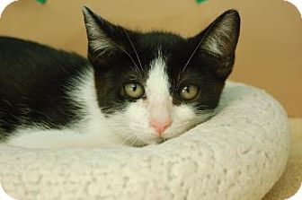 Domestic Shorthair Kitten for adoption in Bradenton, Florida - Joey