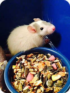 Rat for adoption in Philadelphia, Pennsylvania - 4 BABY GIRLS!