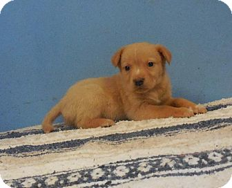 Shepherd (Unknown Type) Mix Puppy for adoption in Danbury, Connecticut - Babby