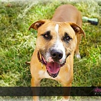 Labrador Retriever/Boxer Mix Dog for adoption in Chatham, Virginia - Max