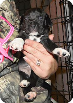 Boxer/Mountain Cur Mix Puppy for adoption in Mooresville, Indiana - empire