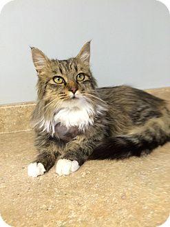 Maine Coon Kitten for adoption in Nashville, Tennessee - Romeo