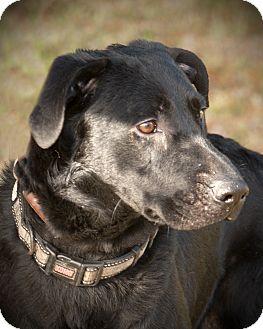Labrador Retriever Mix Puppy for adoption in Brattleboro, Vermont - FRANCO