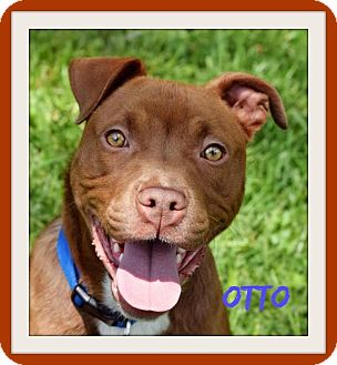 Pit Bull Terrier Mix Dog for adoption in Memphis, Tennessee - Otto