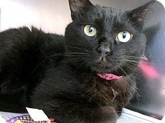 Domestic Shorthair Cat for adoption in Philadelphia, Pennsylvania - Sweetie