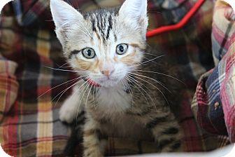 Calico Kitten for adoption in Ocean Springs, Mississippi - Ophelia
