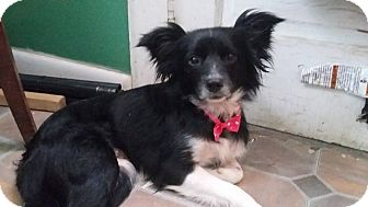 Papillon Mix Dog for adoption in Huntington, Indiana - Rosie