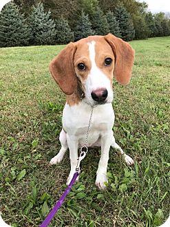 Beagle Mix Dog for adoption in Maryville, Missouri - Leia