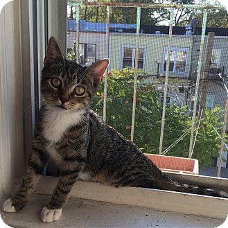 American Shorthair Kitten for adoption in New York, New York - Maple