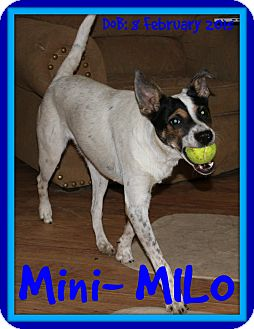 Rat Terrier/Terrier (Unknown Type, Medium) Mix Dog for adoption in White River Junction, Vermont - MILO