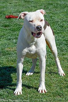 Pit Bull Terrier/Labrador Retriever Mix Dog for adoption in Anaheim, California - Mickey