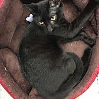 Adopt A Pet :: Choco - Simpsonville, SC
