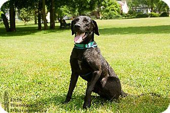 Labrador Retriever Mix Dog for adoption in Duart, Ontario - Kevin