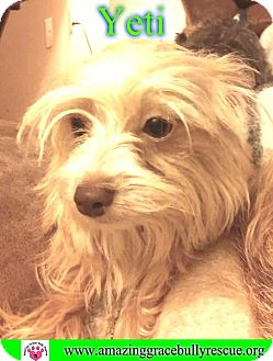 Yorkie, Yorkshire Terrier/Chihuahua Mix Dog for adoption in Pensacola, Florida - Yeti