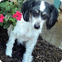 Adopt A Pet :: Hammer - Bridgeton, MO