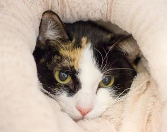 Domestic Shorthair/Domestic Shorthair Mix Cat for adoption in Independence, Missouri - Michelle
