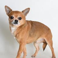 Adopt A Pet :: Sadhu - Medford, OR