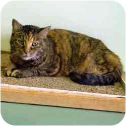 Domestic Shorthair Cat for adoption in Batavia, Ohio - Luminary
