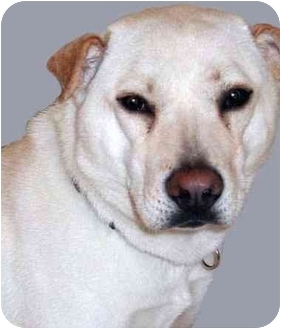 Chow Chow/Shar Pei Mix Dog for adoption in Grass Valley, California - Chloe