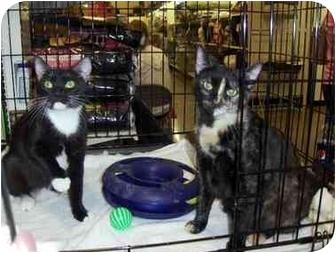 Domestic Shorthair Cat for adoption in Overland Park, Kansas - Ella & Elsie