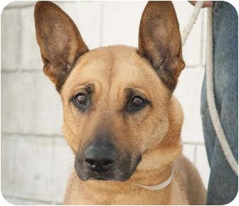 German Shepherd Dog Dog for adoption in Long Beach, New York - Coco Chanel