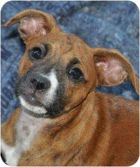 Boxer Mix Dog for adoption in La Habra Heights, California - Beautiful Bridgette
