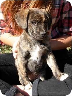 Labrador Retriever Mix Puppy for adoption in Thomaston, Georgia - Syd