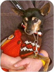 Miniature Pinscher/Chihuahua Mix Dog for adoption in Linden, New Jersey - Oscar