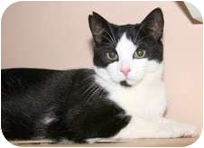 Domestic Shorthair Cat for adoption in Arlington, Virginia - Felix