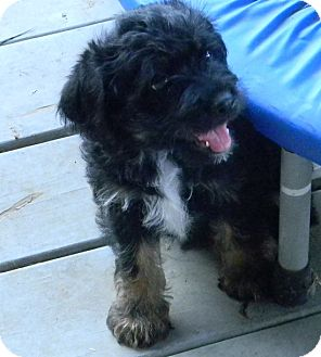 Schnauzer (Miniature)/Poodle (Miniature) Mix Puppy for adoption in cameron, Missouri - Slick