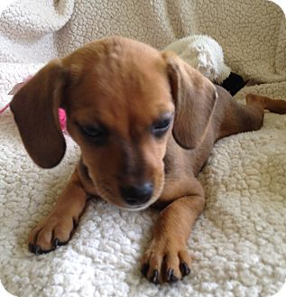 Dachshund/Rat Terrier Mix Puppy for adoption in West Palm Beach, Florida - LILO