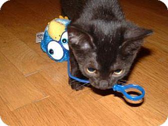 Domestic Shorthair Kitten for adoption in West Palm Beach, Florida - PRISCILLA