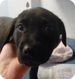 Labrador Retriever Mix Dog for adoption in Gainesville, Florida - Winter