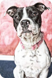 Pointer/Pit Bull Terrier Mix Dog for adoption in West Allis, Wisconsin - Momma Dottie