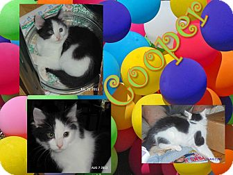 Domestic Longhair Kitten for adoption in Hagerstown, Maryland - Cooper