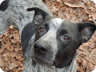 Blue Heeler Mix Dog for adoption in Washington, D.C. - Sweet Pea