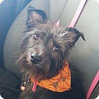 Adopt A Pet :: SADIE JOY - Fort Worth, TX