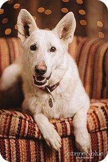 German Shepherd Dog Dog for adoption in Portland, Oregon - Blizzard