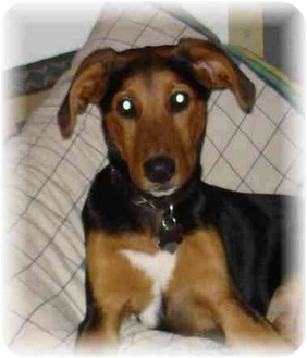 German Shepherd Dog/Beagle Mix Puppy for adoption in Wyoming, Minnesota - Becker-- So Cute!