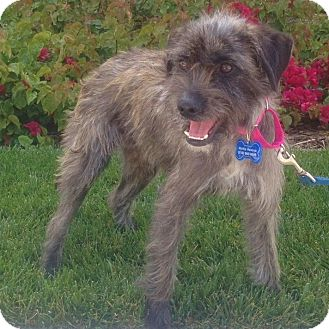 Terrier (Unknown Type, Small)/Schnauzer (Miniature) Mix Dog for adoption in Redondo Beach, California - Patchouli