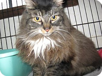 Domestic Longhair Cat for adoption in Coos Bay, Oregon - Basement Betsy