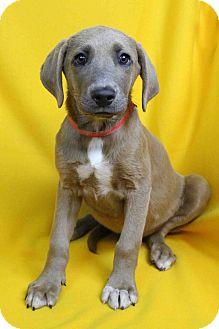 Retriever (Unknown Type)/Weimaraner Mix Puppy for adoption in Westminster, Colorado - Raymon