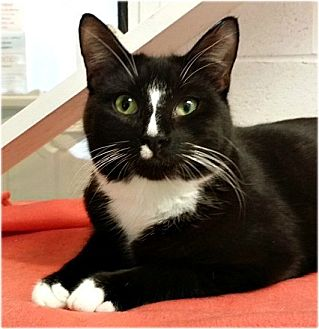 Domestic Shorthair Cat for adoption in Huntington, New York - Tad