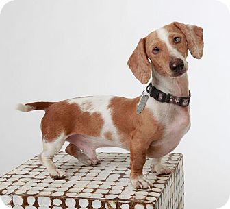 Dachshund Dog for adoption in Scottsdale, Arizona - Finn