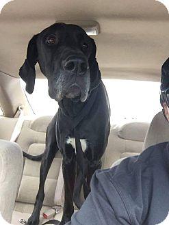 Great Dane Dog for adoption in Oviedo, Florida - Maddie