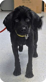 Cocker Spaniel Mix Dog for adoption in Gainesville, Florida - Jimmy