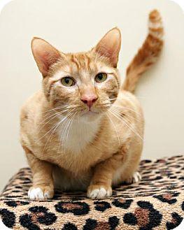 Domestic Shorthair Cat for adoption in Bellingham, Washington - Oliver