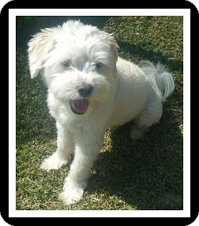 Maltese/Poodle (Standard) Mix Dog for adoption in Winchester, California - MAXX